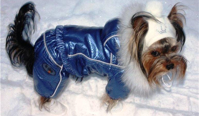 Нужна ли зимняя одежда для йорка
