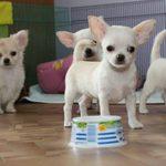 Как выбрать здорового щенка чихуахуа