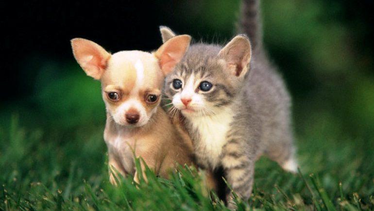 Как чихуахуа уживаются с кошками