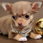 Что необходимо щенку чихуахуа