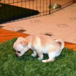 Два вариант приучить к лотку щенка чихуахуа